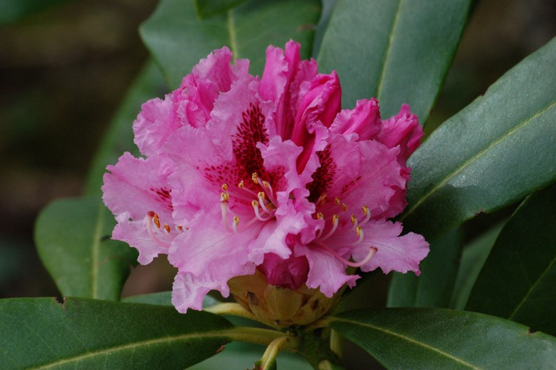 Rhododendron from Angus's Garden, Taynuilt
