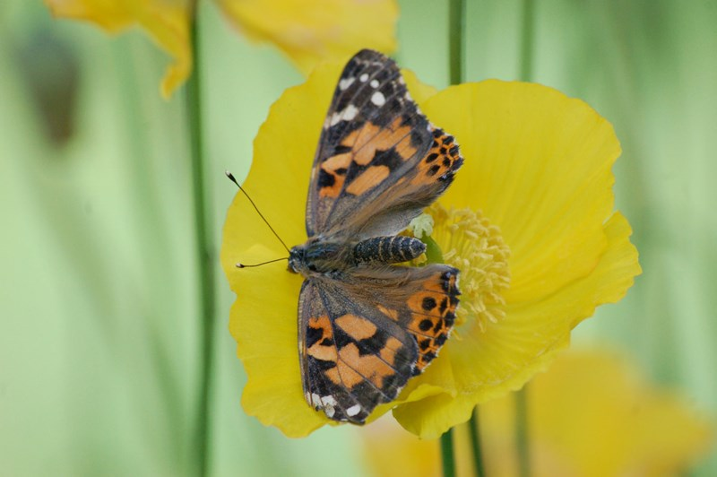 Image of a painted lady butterfly at Bays and Bens holiday lets and cottages, Airds Bay, Taynuilt, Nr Oban, Argyll, Scotland