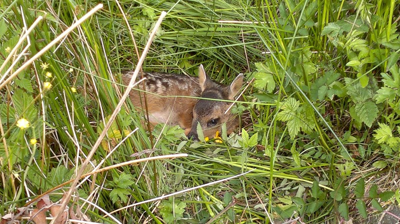 Young Roe Deer in the grass at Airds Bay Taynuilt, nr Oban, self catering holiday let accommodation