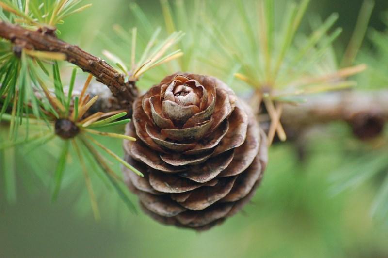 Larch Pine Cone