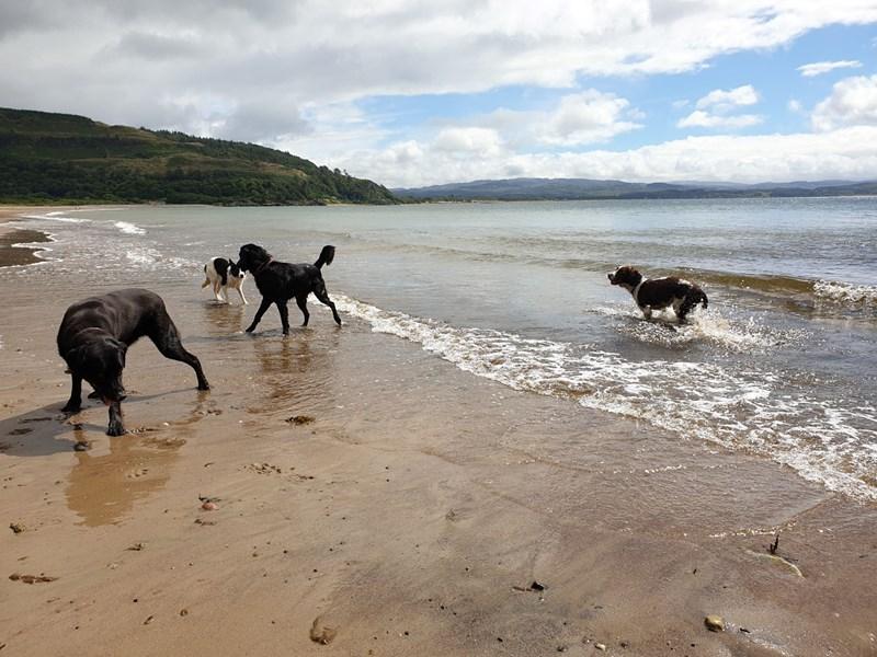 Dogs playing on Tralee white sand beach Benderloch
