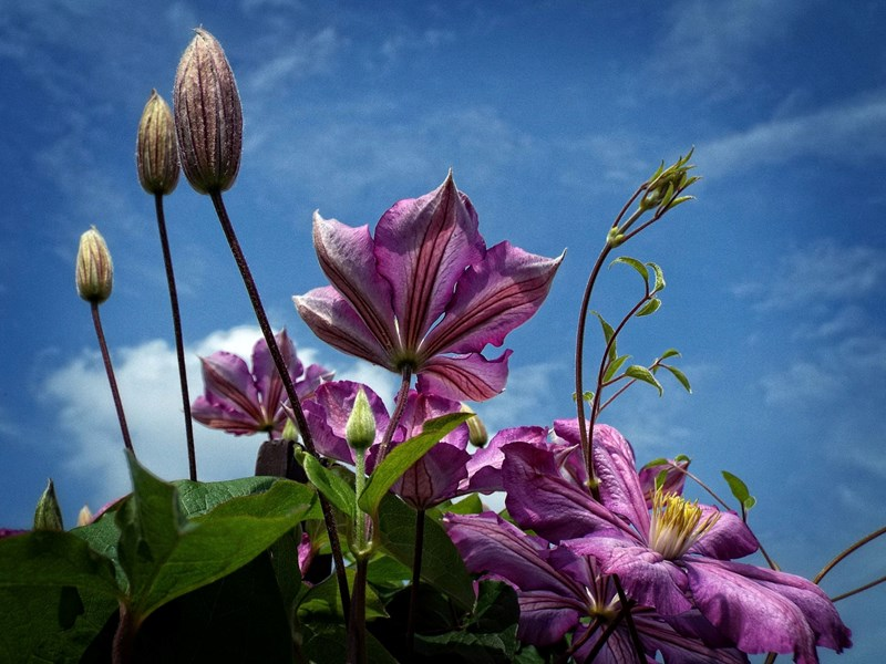 Picture of a clematis blue sky in the background