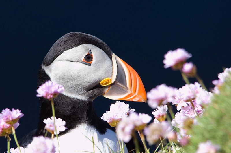 Puffin and sea pinks