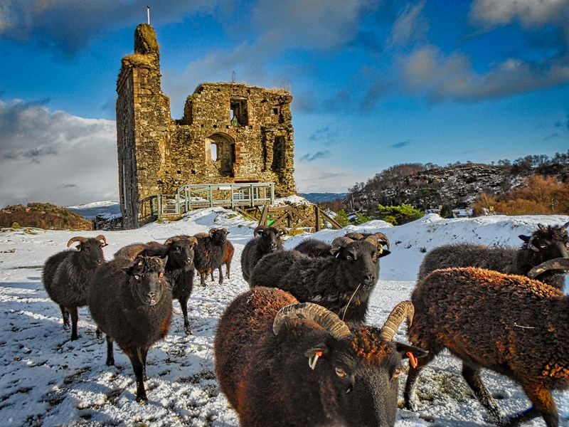 Rare breed Hebridean sheep in snowy outer bailey of the castle.