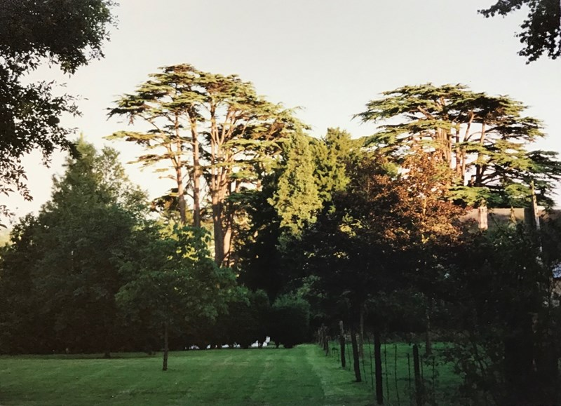 View of the two Cedar trees in the churchyard before they were blown down in the gale in 1990.
